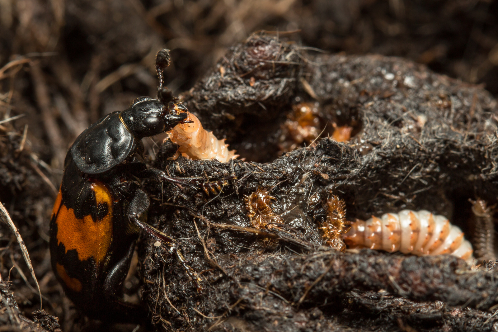 The quality of parenting received by young beetles influences how they look after their own larvae.