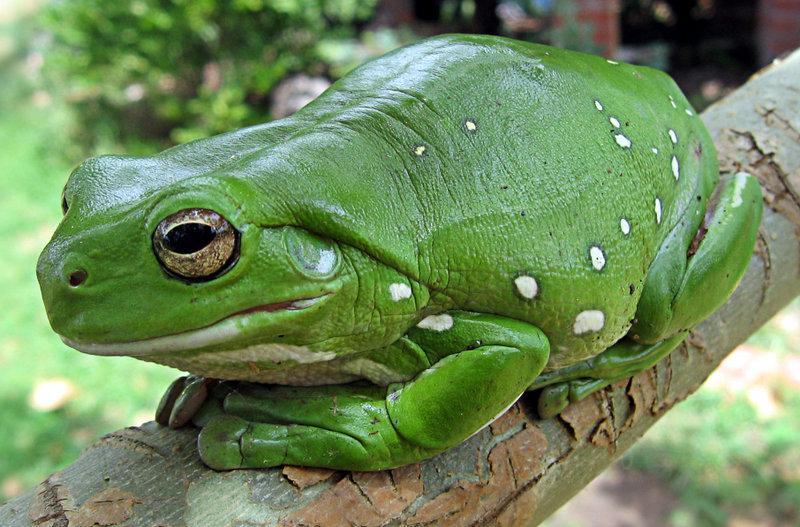 Australia green tree frog (Litoria caerulea)