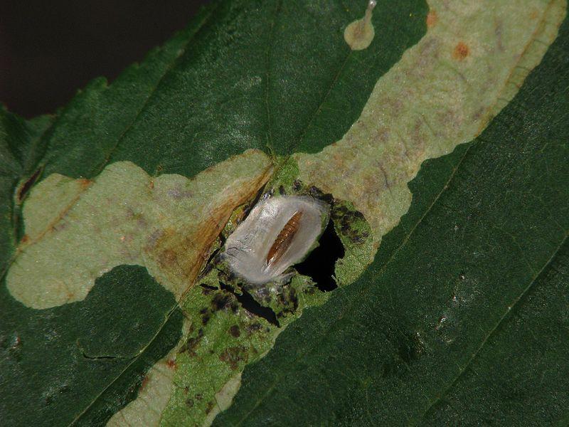 Cameraria ohridella pupa - horse chestnut leaf miner