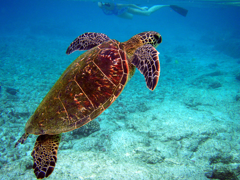 A green turtle, Chelonia mydas in Hawaii