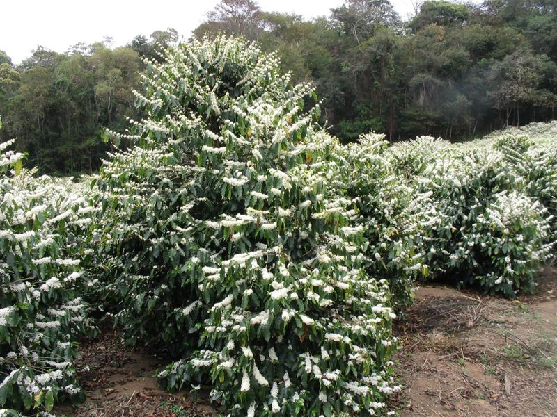 Coffee Arabica bushes in Brazil