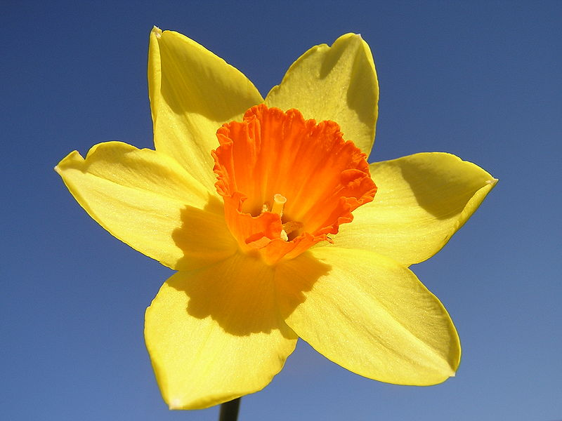 A narcissus