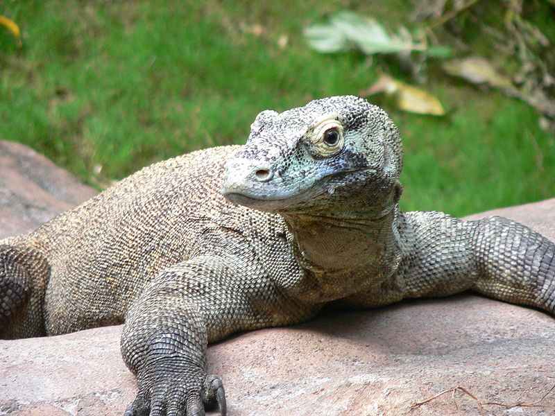 Varanus komodoensis - Komodo Dragon