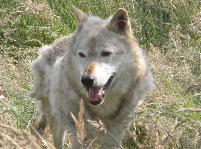 Kodiak, a 13-year-old captive North American wolf at the UK Wolf Conservation Trust in Berkshire, England.