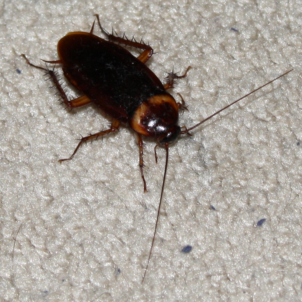 An American Cockroach photographed in a house in Portland, Texas, United States