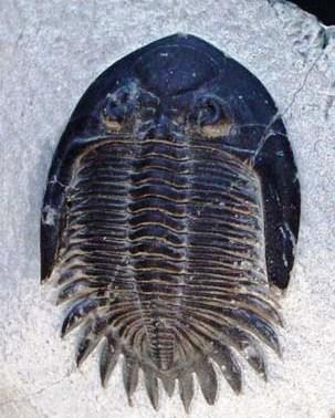 A fossilised trilobite