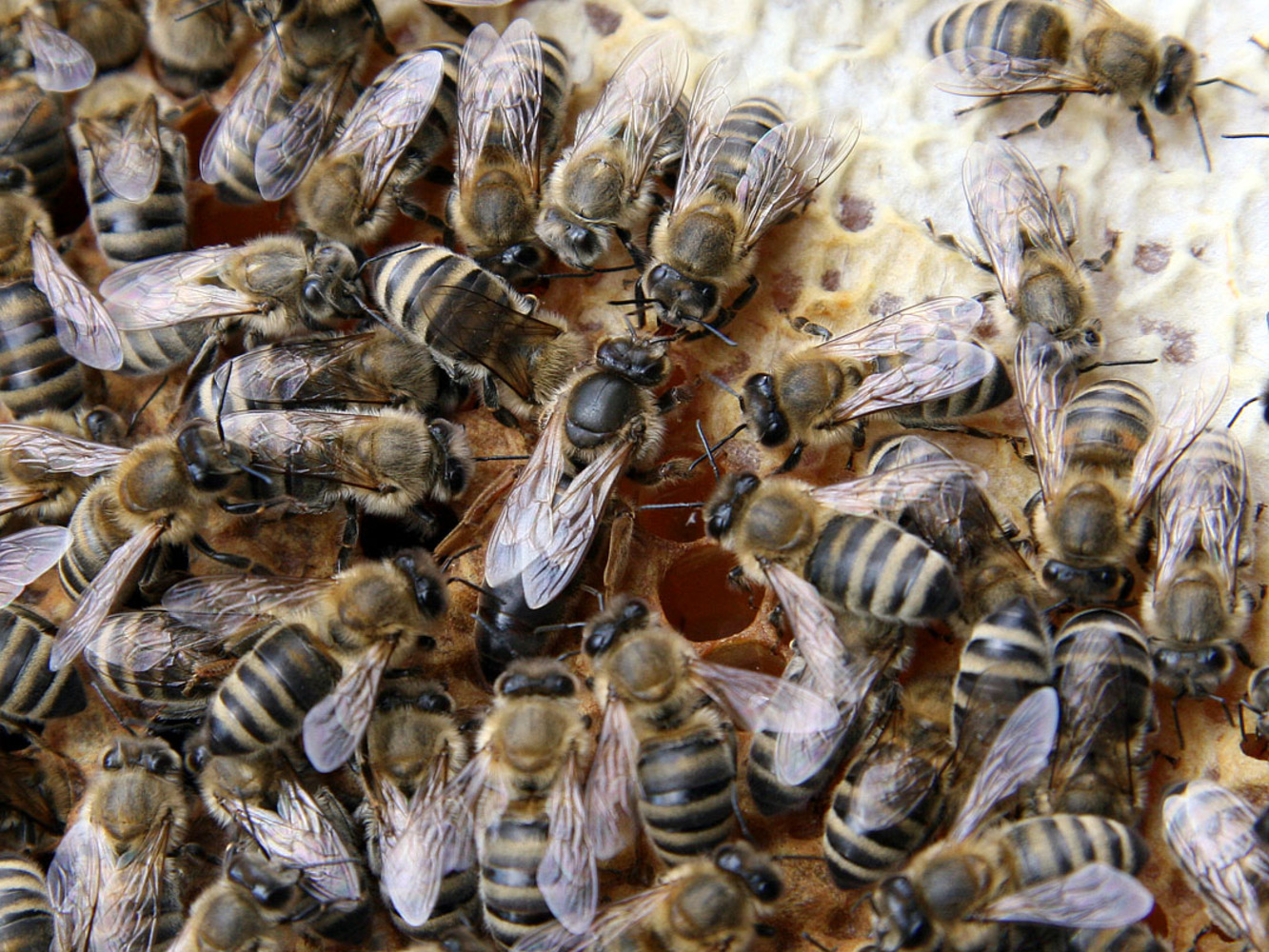 Queen bee with attendants on a honeycomb