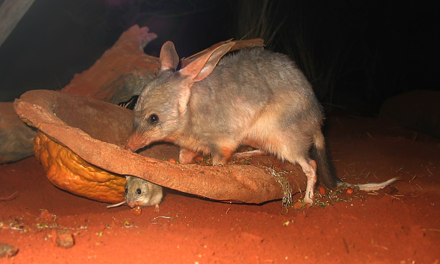 A Bilby (Macrotis lagotis) at Sydney Wildlife World