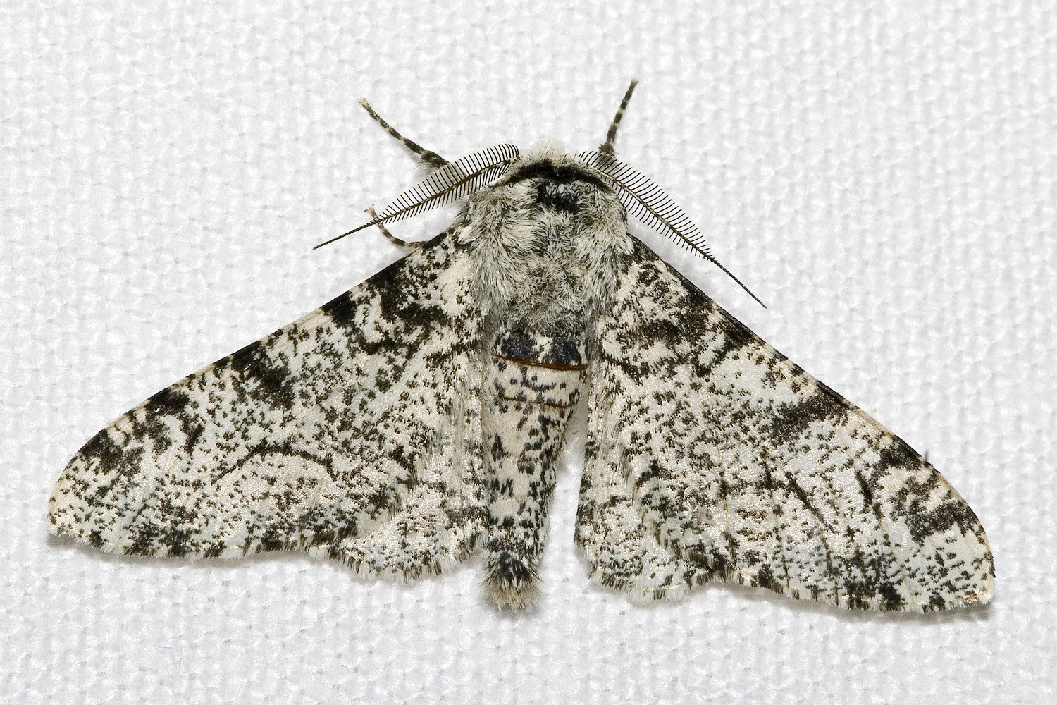 A white form of peppered moth.