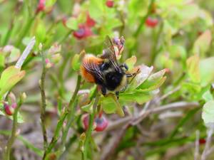 Blaeberry bumblebee on a Blaeberry Bush