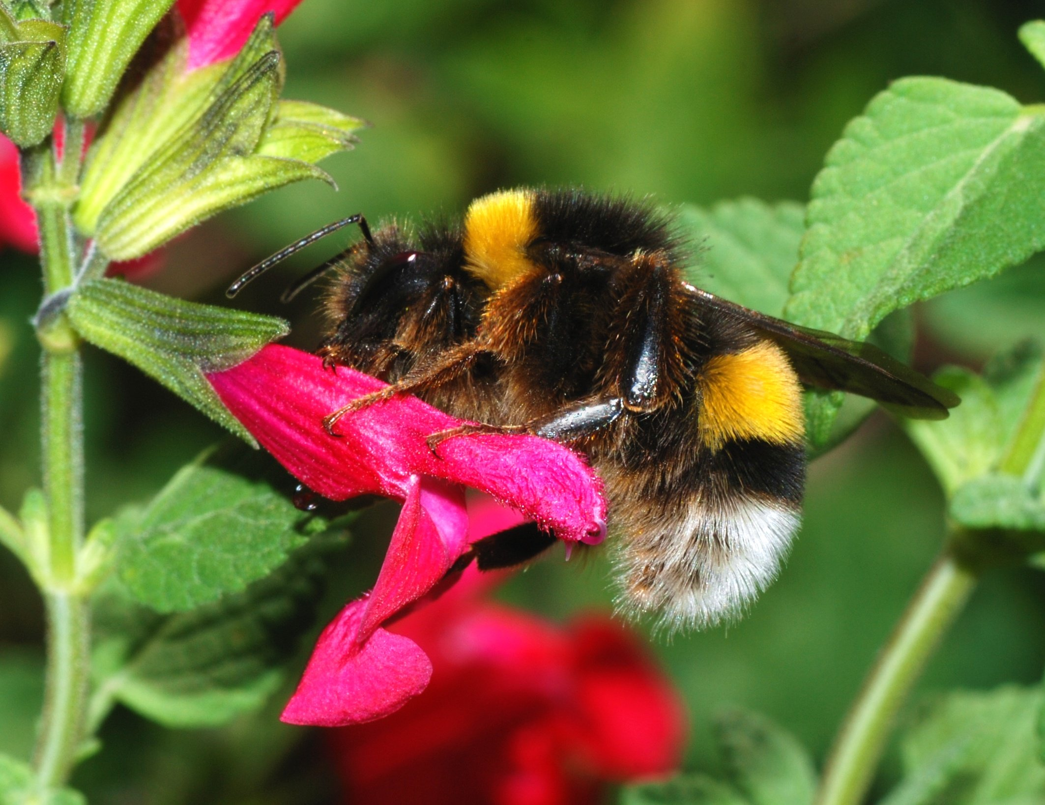 A male Bombus terrestris bumblebee