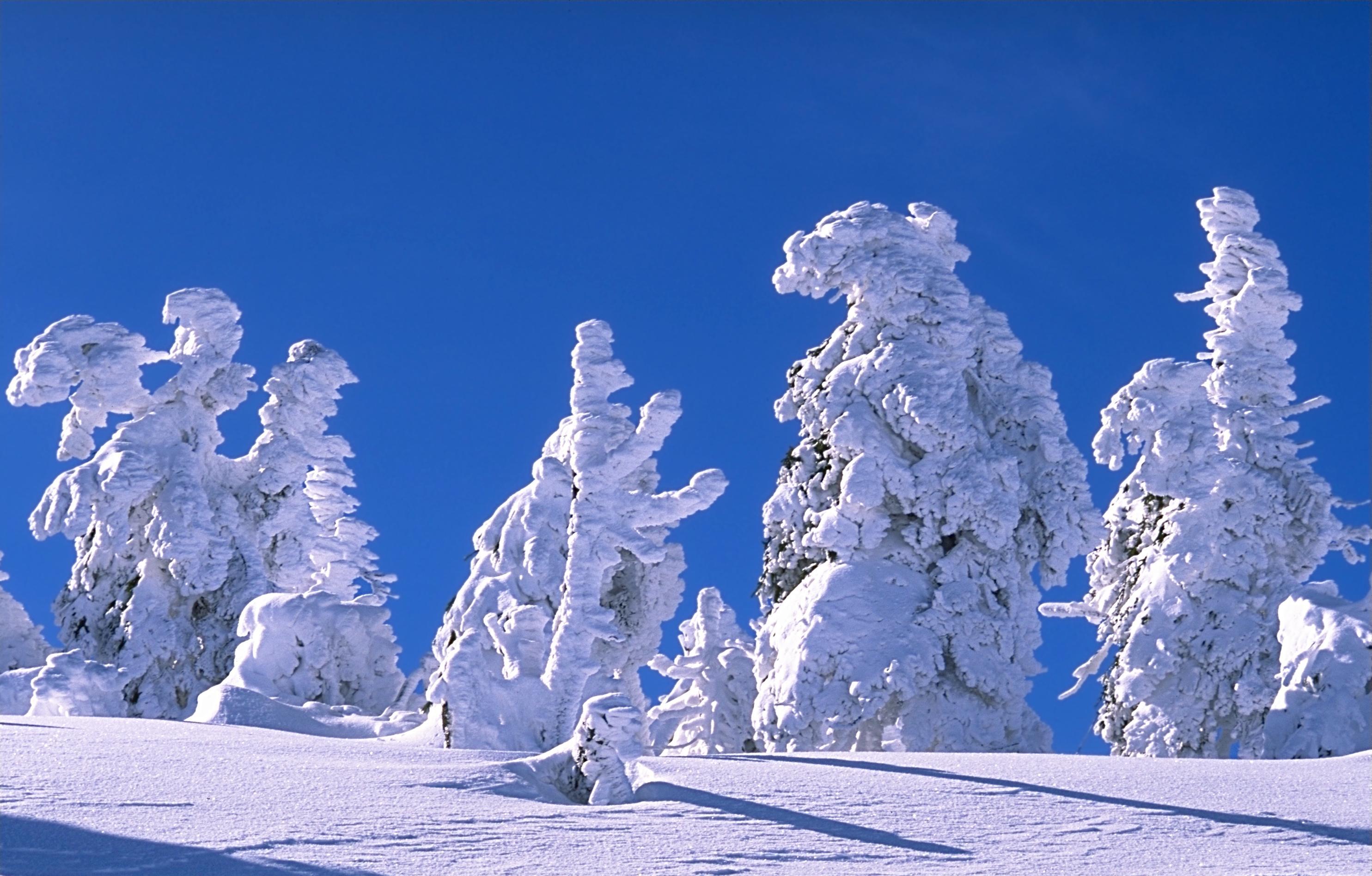 Snowy trees on mount Brocken, Harz, Germany