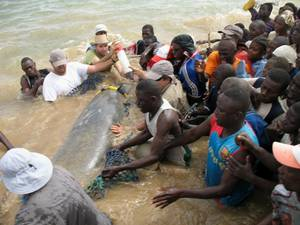 West African manatee being rescued from dam in Senegal