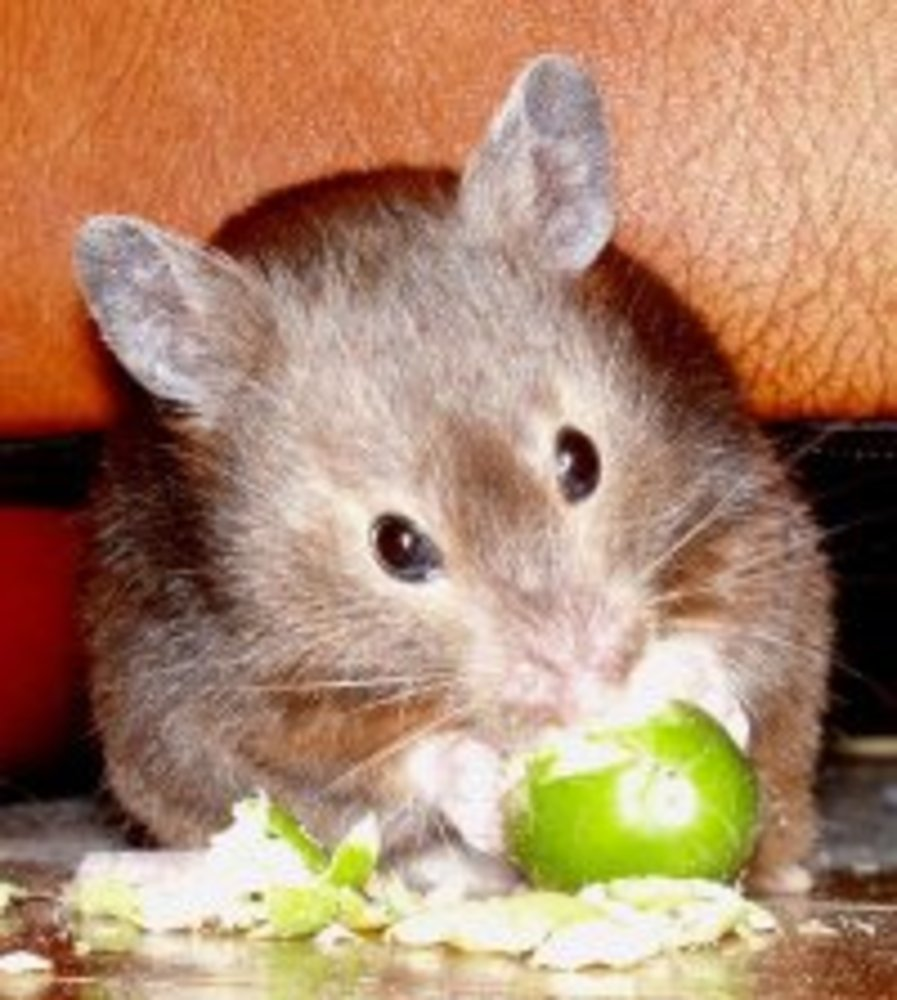 Sable short-haired Syrian Hamster.