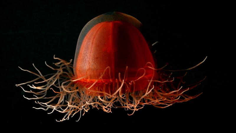 Jellyfish (Crossota norvegica)