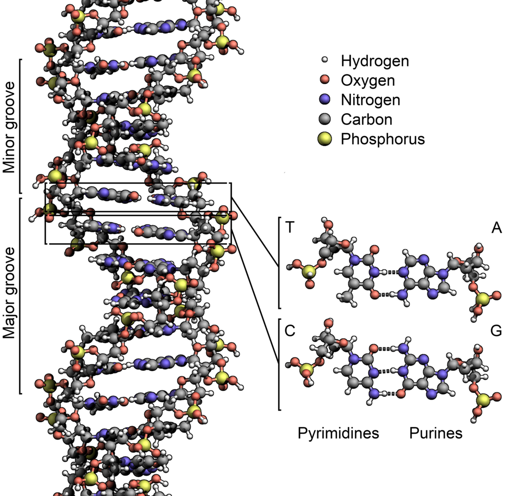 The structure of DNA showing with detail showing the structure of the four bases, adenine, cytosine, guanine and thymine, and the location of the major and minor groove. It is an \extraordinarily elegant molecule\. But the genetic sequence itself is...