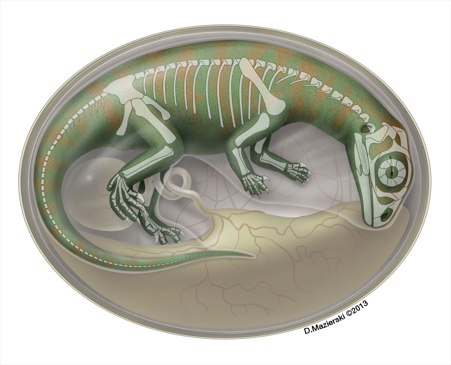 Semitransparent flesh reconstruction of an embryonic dinosaur inside an egg, with skeleton shown.