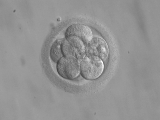 An 8 day old embryo