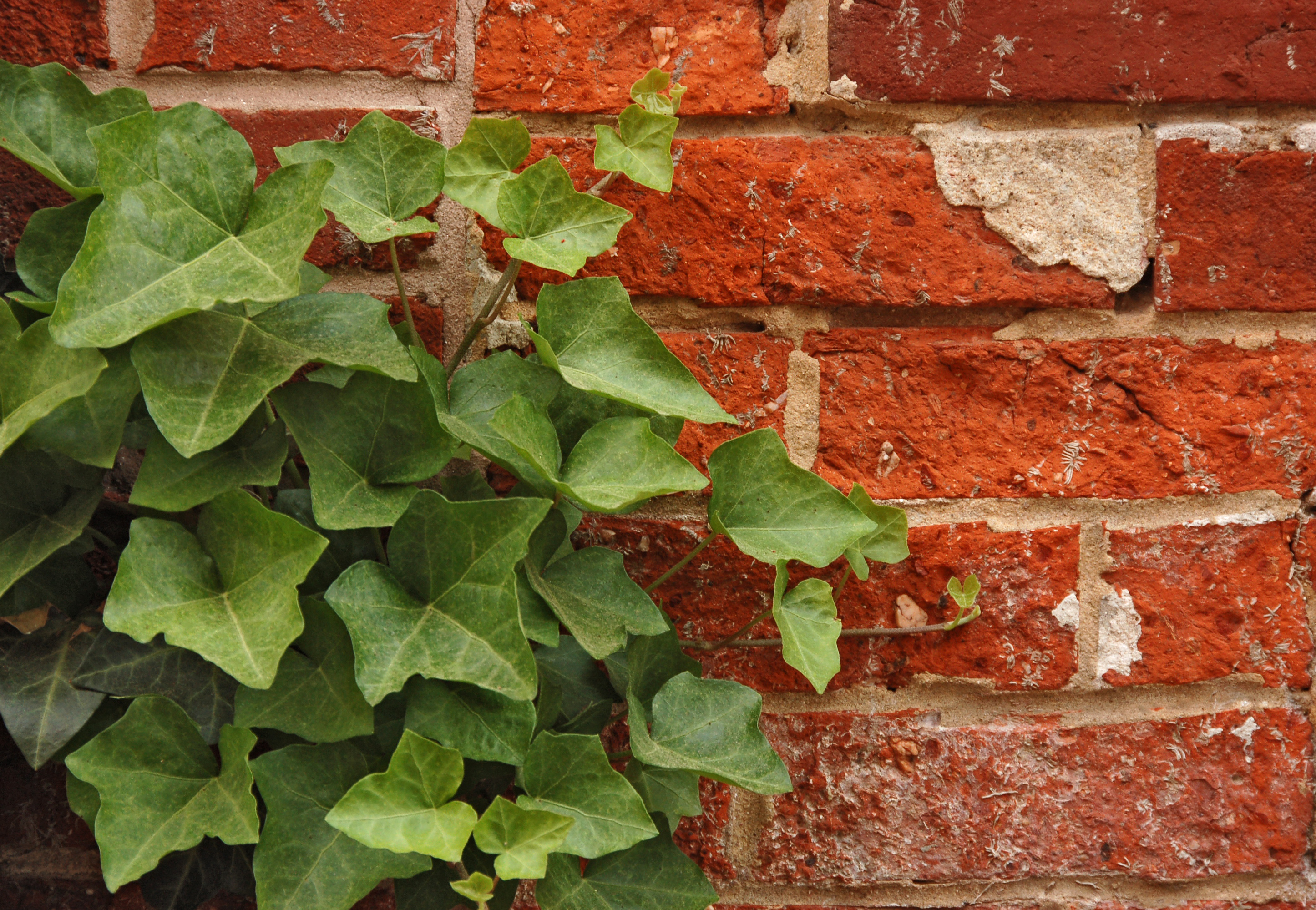 Photograph of English Ivy (Hedera helix) growing on a red brick wall. The photo was taken in the city of Lancaster, Pennsylvania, by Derek L. Ramsey.