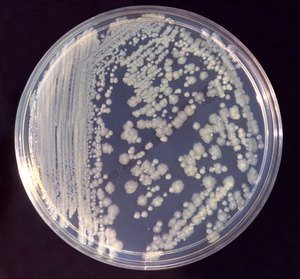 Enterobacter cloacae on agar