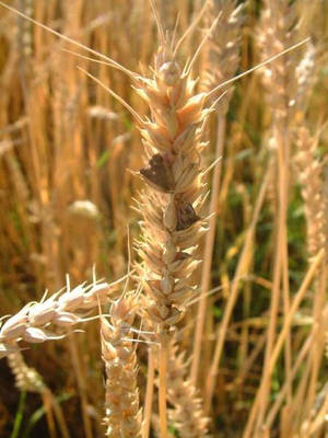 Ergot fungus growing on wheat.