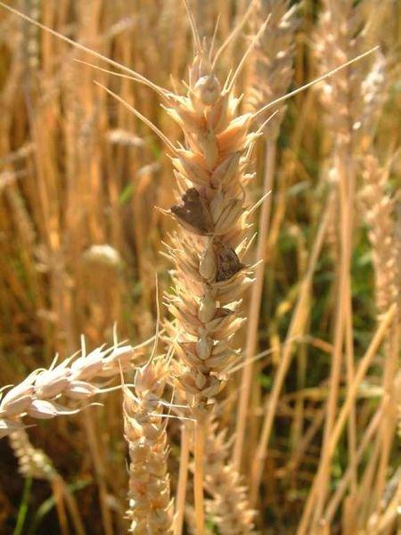 Ergot (Claviceps purpurea) on wheat spikes