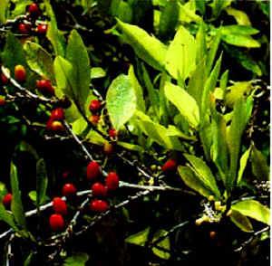 The coca plant.