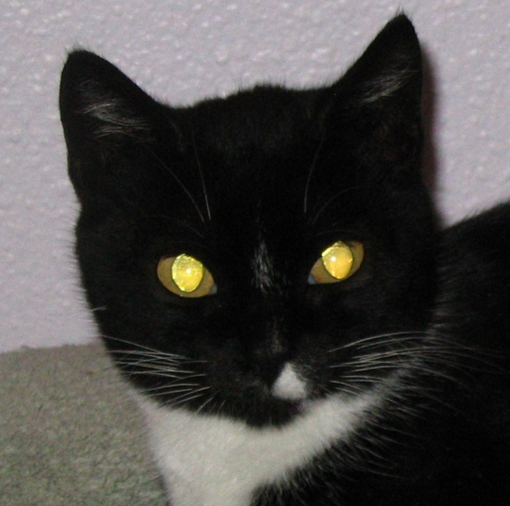 Black and white housecat looking at the camera and exhibiting yellow tapetum lucidum eyeshine.