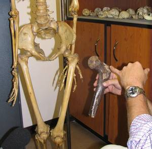 Professor Lee Burger comparing Femurs