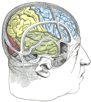 Drawing of a cast to illustrate the relations of the brain to the skull.
