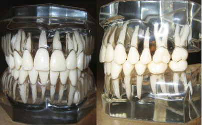 Models of human teeth as they exist within the alveolar bone