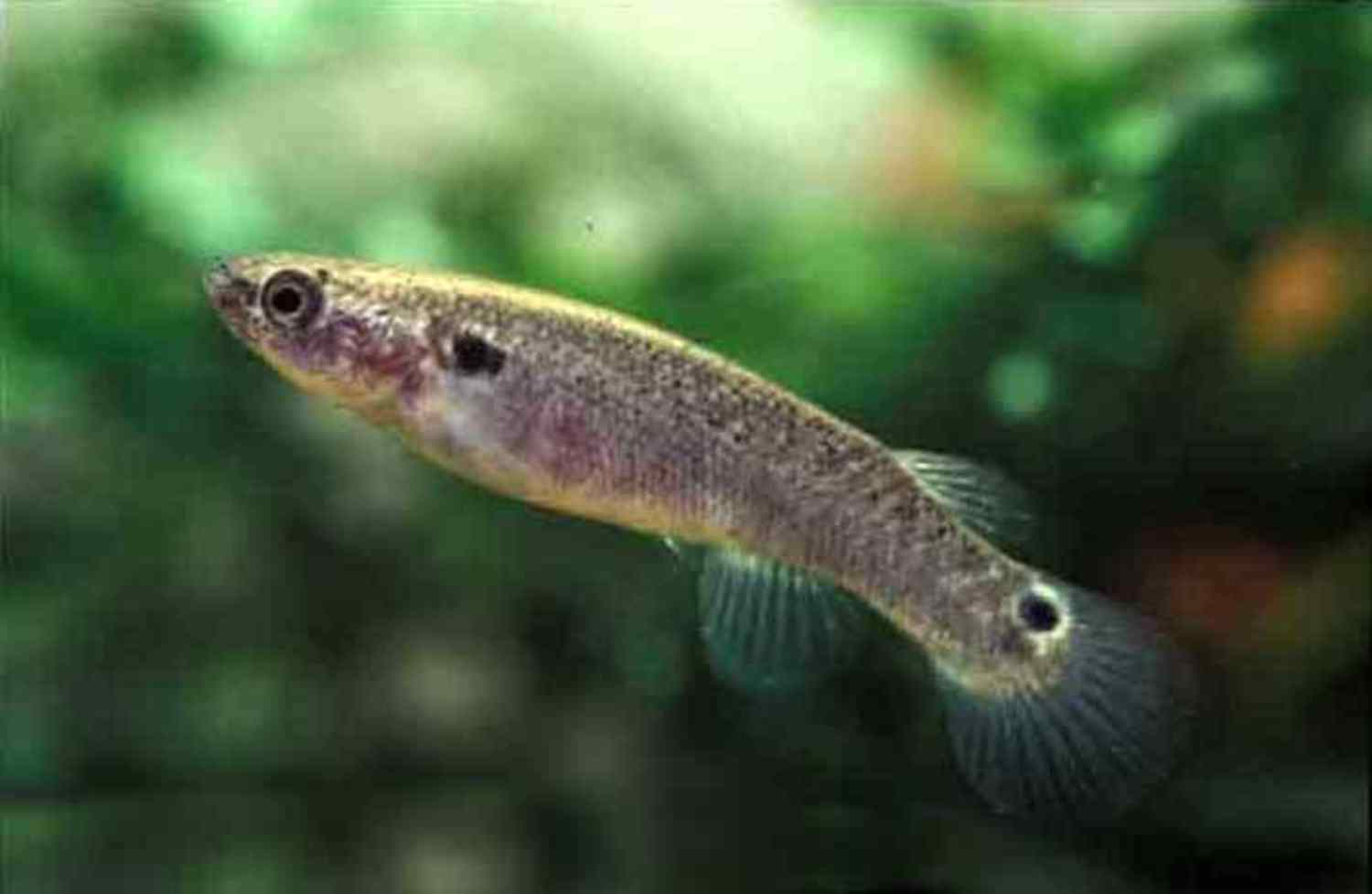 The Mangrove Killifish