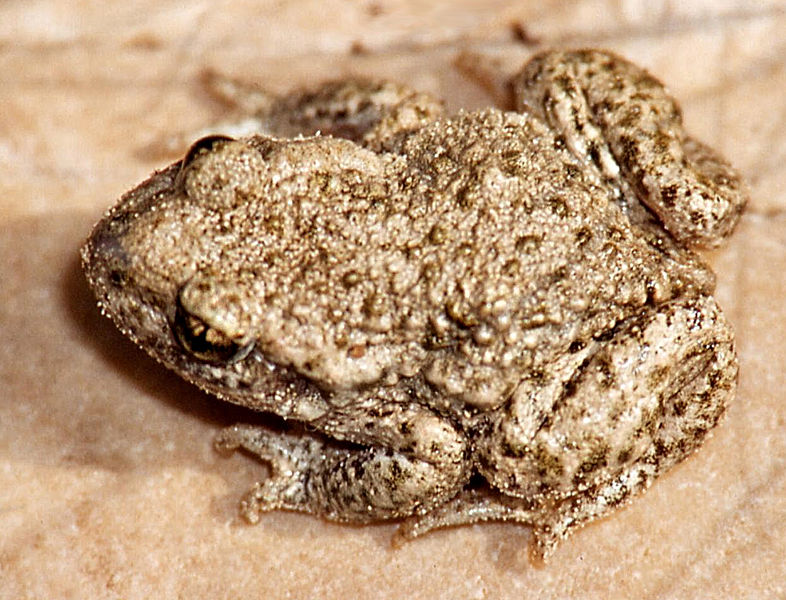 Midwife Toad, Alytes obstetricans