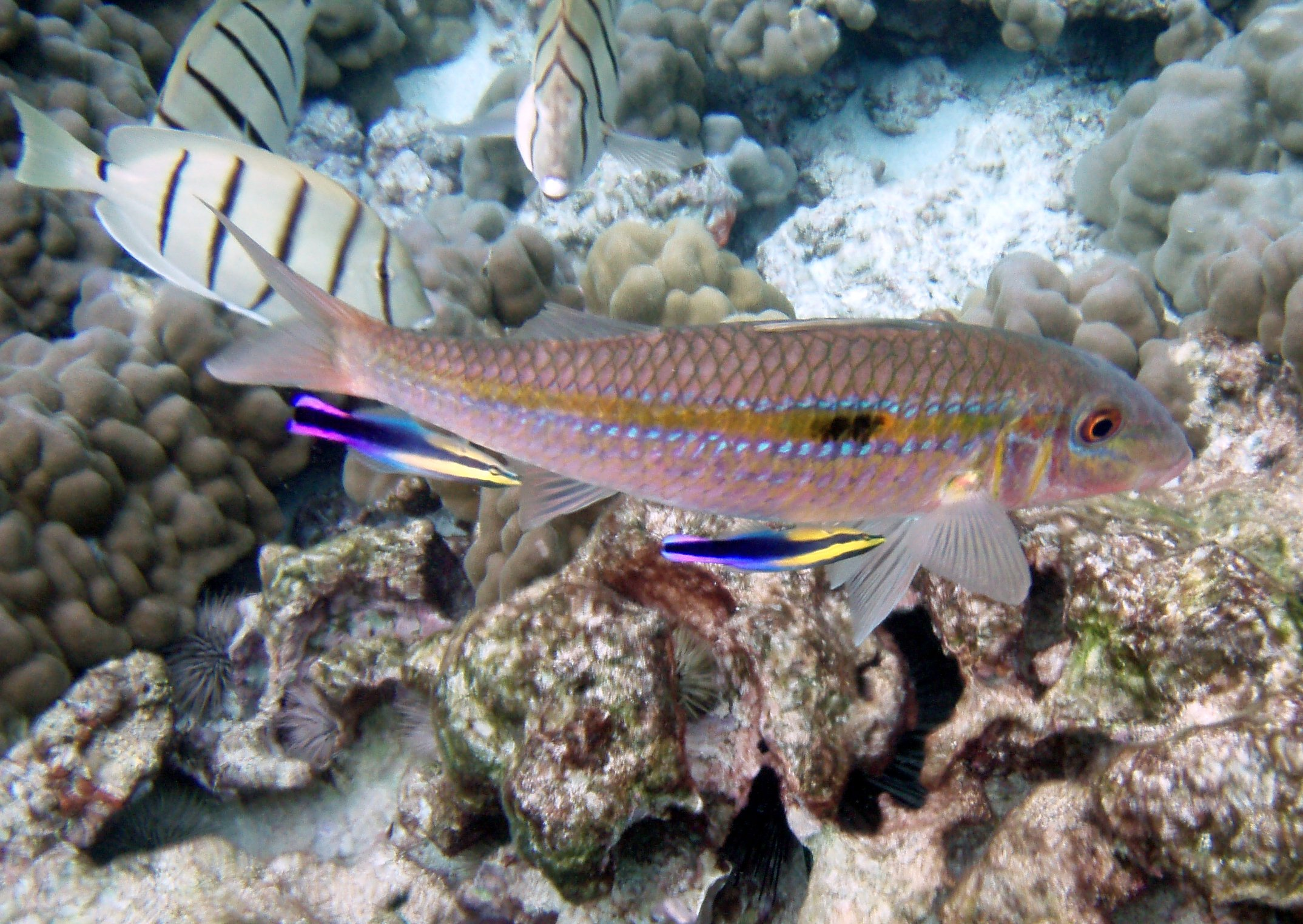 Goatfish, Mulloidichthys flavolineatus at Kona, Hawaii is being cleaned by two cleaner Wrasses, Labroides phthirophagus.