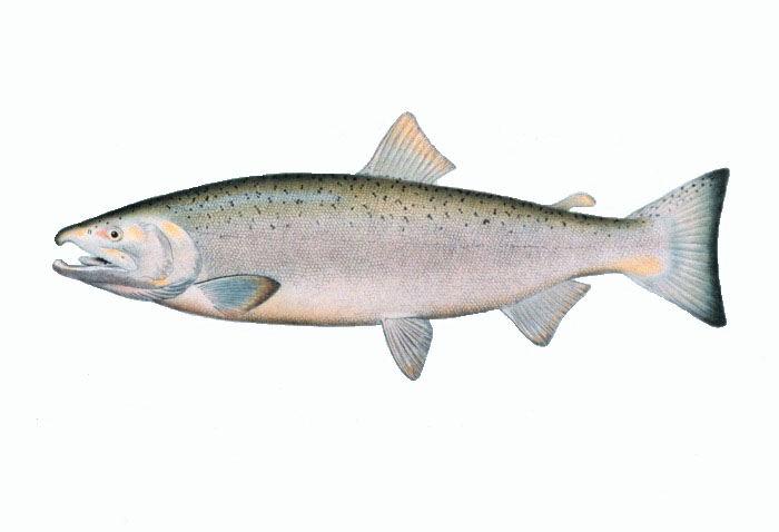 Coho salmon Based on the drawing from Silver or Coho salmon, adult male. In: \The Fishes of Alaska.\ Bulletin of the Bureau of Fisheries, Vol. XXVI, 1906. P. 360, Plate XXXI.