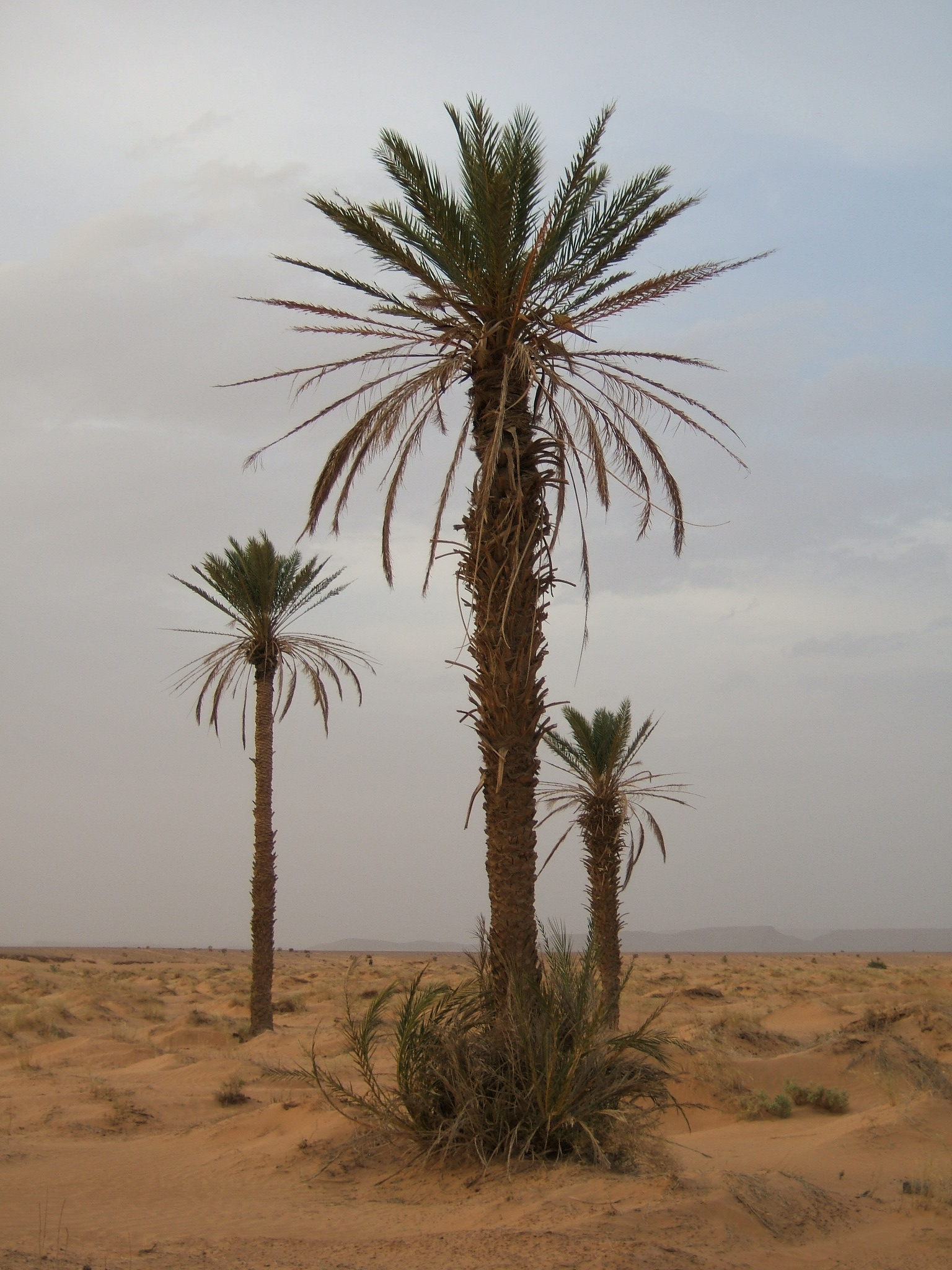 The Date Palm, Phoenix dactylifera