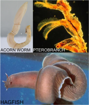Acorn worm, pterobranch and hagfish
