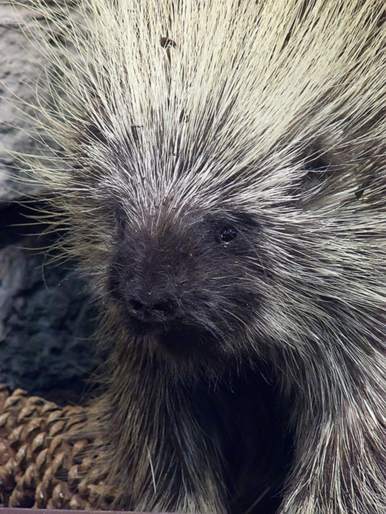 Porcupine photographed by Mary Harrsch