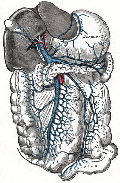 Portal Vein, Liver and Mesenteric Anatomy