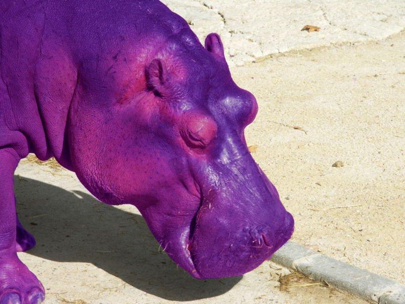A purple hippo
