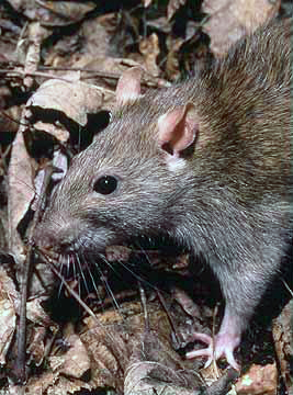 Rattus norvegicus, the Brown Rat.