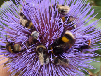 A group of different bumblebee species all feeding on the huge flower of a cardoon. © Sarah Jenkins