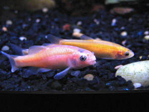 Three rosy red / fathead minnows in a home aquarium. Male foreground, two females rear.