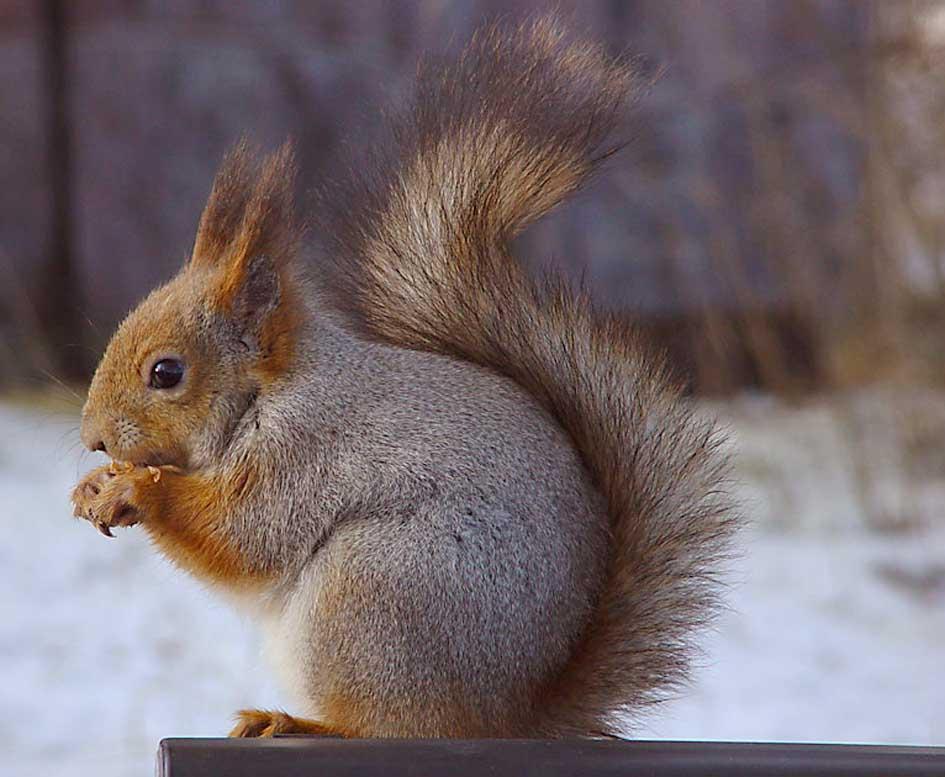 Sciurus vulgaris, a European squirrel