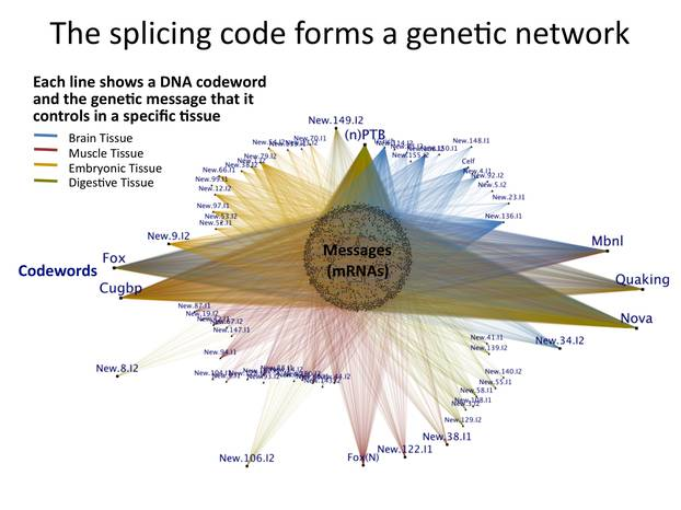 The splicing code forms a genetic network
