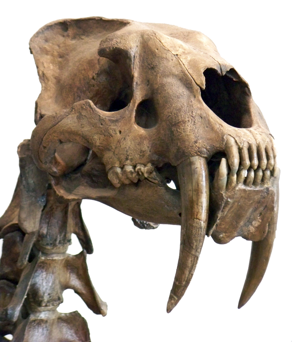 The head of a Smilodon, a sabre toothed cat.