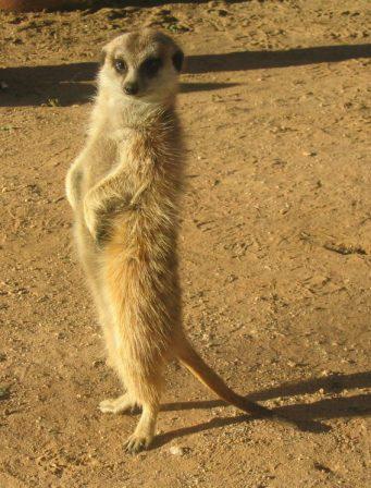A meerkat in the Kalahari desert