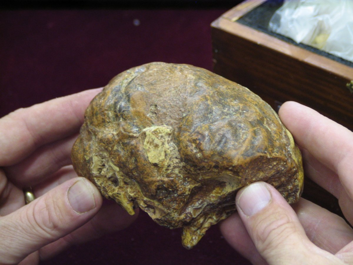 The fossilised brain of the Taung Child. Created as a fossil cast of the inside of the skull, this allows us to study the structure of ancient brains