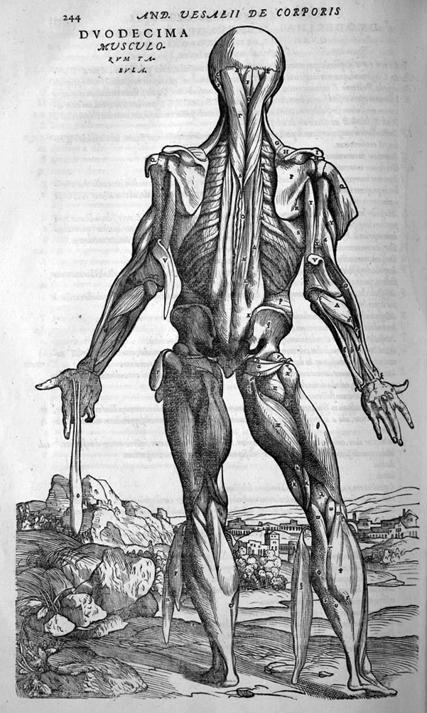 Andreas Vesalius (1514-1564) - Etching of the muscles of the Human Body