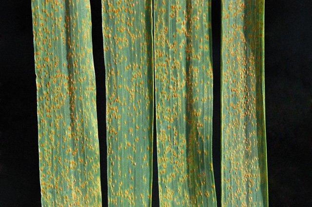 wheat rust